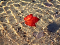 Autumn Leaf With Ripples