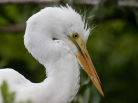 Great Egret Chick