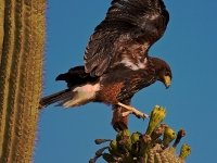 Young Harris Hawk Landing On Saguaro Bloom