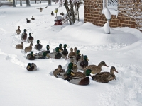 Unusually Deep Snow And The Ducks Are Coming To The Back Of The House To Get Fed.
