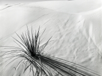 Yucca Shadow, White Sands, New Mexico