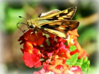Skipper Butterfly On Lantana Flowers
