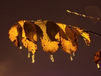 Ice Cold Leaf