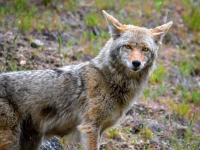 Stare Down - Grimes Pass Coyote