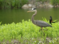 Heron And Blackbird
