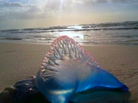 Manowar Jellyfish Surfaces To Shine