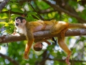 Playful Squirrel Monkey
