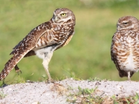 Burrowing Owl Yoga
