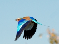 Lilac Breasted Roller - Takeoff