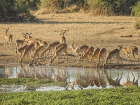 Impala Herd Reflections