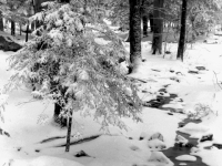 Young Evergreen In Snow