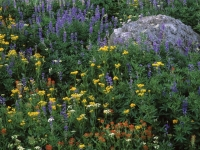 Blooming Wildflowers Near Carson Pass, No. Sierra Nevada Range