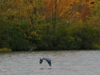 Blue Herron Lift-off