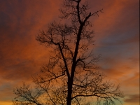 Sunset Oak Tree