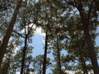 Canopy Of Pines