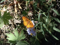 Buffalo Fork Butterfly