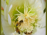 San Pedro Cactus And Bees
