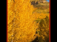 Aspen Gold On Escudilla Mountain