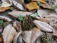 Magnolia Seed  Pods