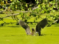 Green Heron Spears Lunch (crabtree)