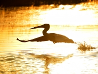 White Pelican Taking Flight At Sunset