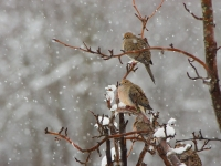 Mourning Doves And Snow
