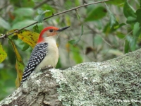 Male Red Bellied Woodpecker