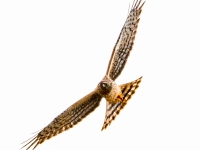 Re: On The Hunt - Northern Harrier