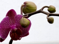Orchid - With Buds