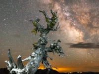 Whitebarkpine And Milkyway