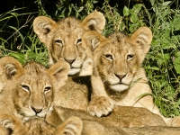 Thre Lion Cubs