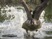 Canada Goose Take-off