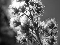 Backlit Thistle