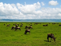 Wildebeest In  Ngorongoro Conservation Area