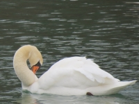 Pretty Swan On A New Spring Day