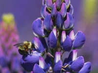 Blue Lupine With Bumblebee