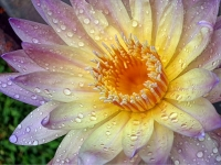 Water Lily In Rain