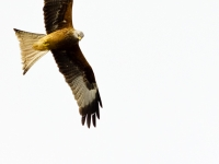 Red Tailed Kite Over Home