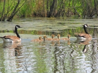 Canadian Geese Family Swimming