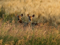 Twins Whitetail Deer Fawns On The Prairie