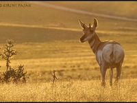 Pronghorn At Sunset