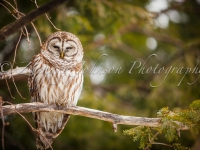 Wilton, Nh Barred Owl