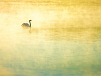 Swan At Dawn On Horn Pond