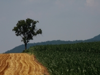 Lone Tree, Summer Field