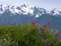 Summer Flowers In Olympic Mountains