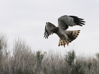 Northern Harrier Ready To Strike