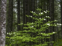 Dogwood Tree, Gifford Pinchot National Forest, Washington