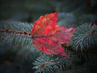 Maple Leaf On Pine