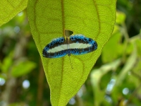 A Forest Butterfly (nymphidium Mantus) Under Leaf