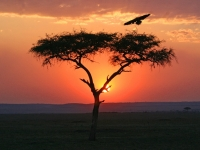 Acacia Tree And Eagle At Sunset
